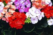 Пеларгония (Герань) — выращивание, уход, пересадка и размножение.