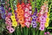 Гладиолусы. Все о выращивании: описание, сорта, полезные советы.