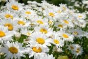 Выращивание ромашки в саду. Сорта, описание, советы.