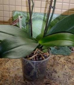 Фаленопсис (Орхидея) — выращивание, уход, пересадка и размножение. Полезные советы.