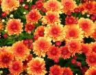 Хризантемы. Выращивание Хризантем. Уход и пересадка Хризантемы. Размножение Хризантем.