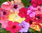 Гибискус у вас дома: выращивание и уход. Все «за» и «против».